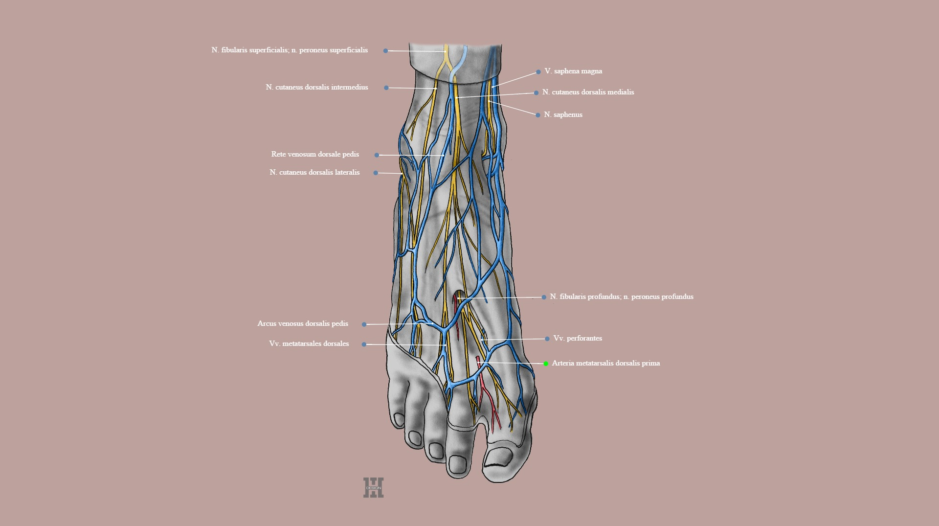 Dorsum of the foot