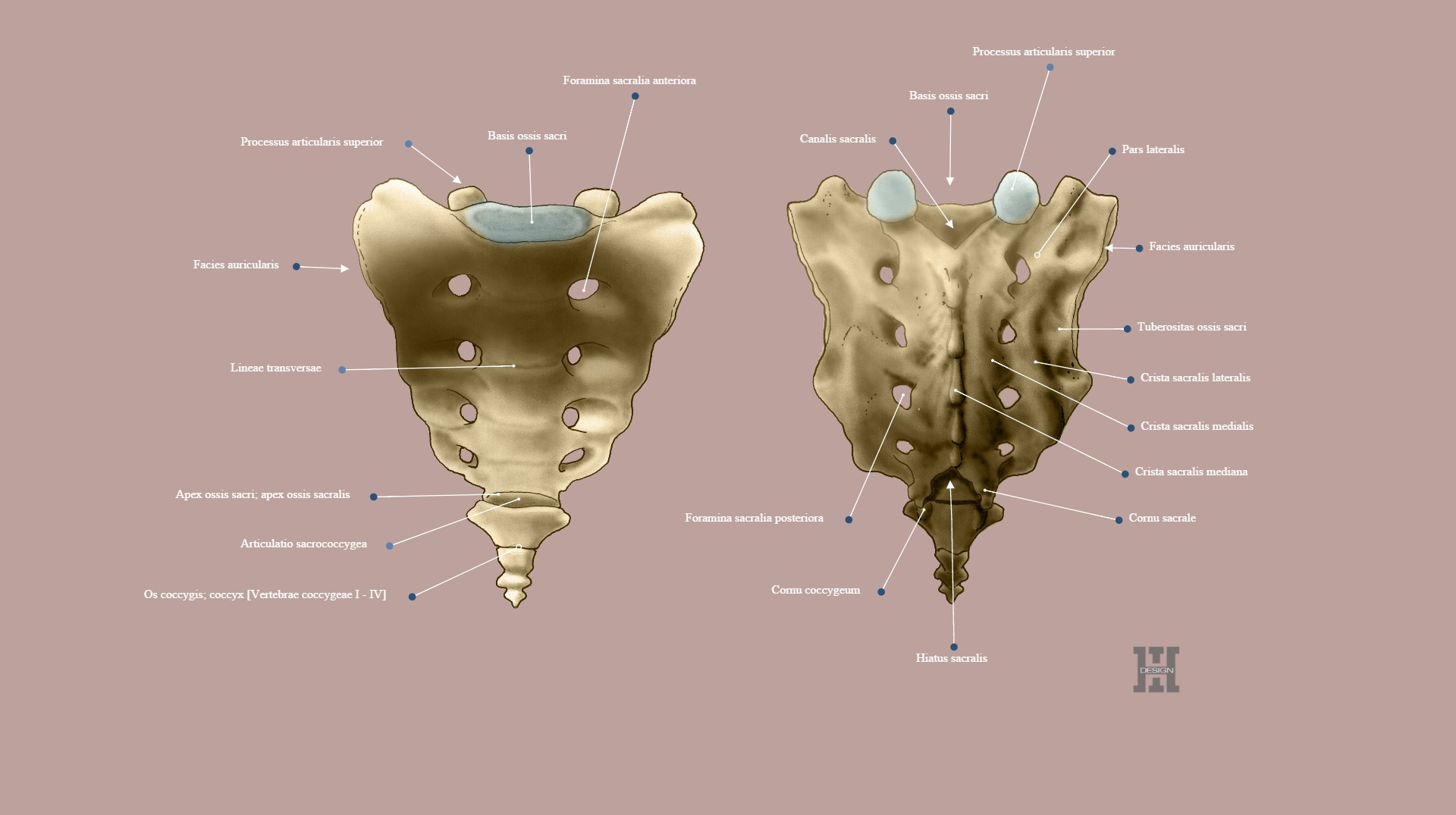 The Sacral And The Coccygeal Vertebrae