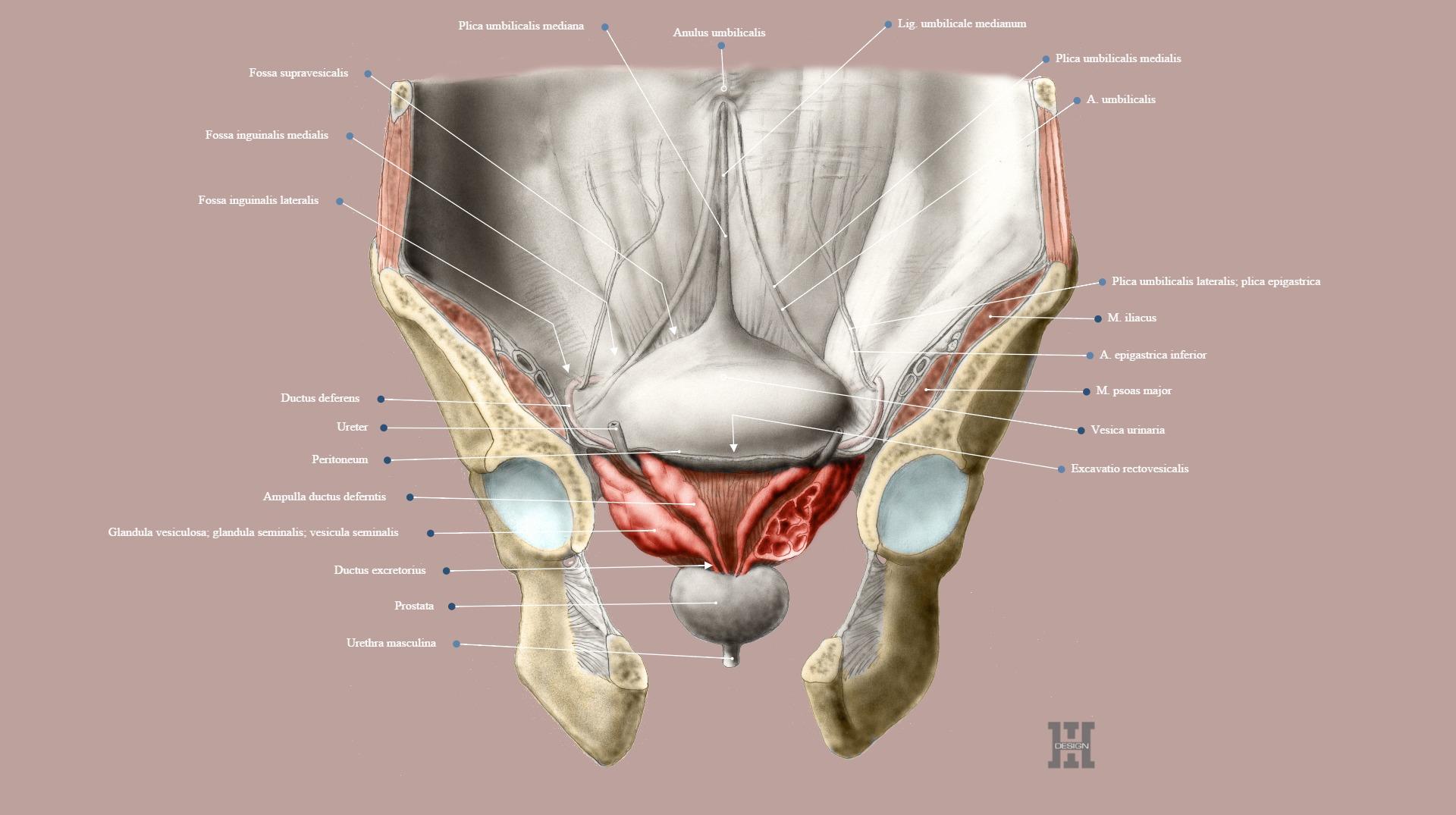 Urinary Bladder And Prostate