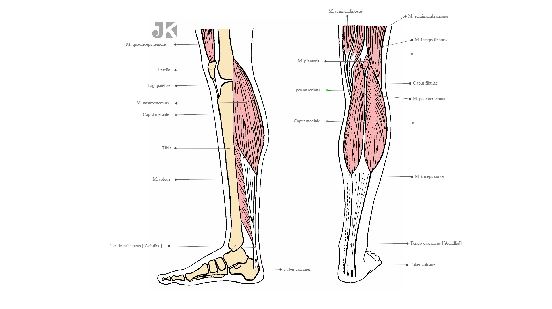 Posterior muscles of the lower leg
