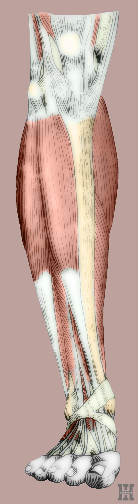 Muscles of lower leg, anterior view