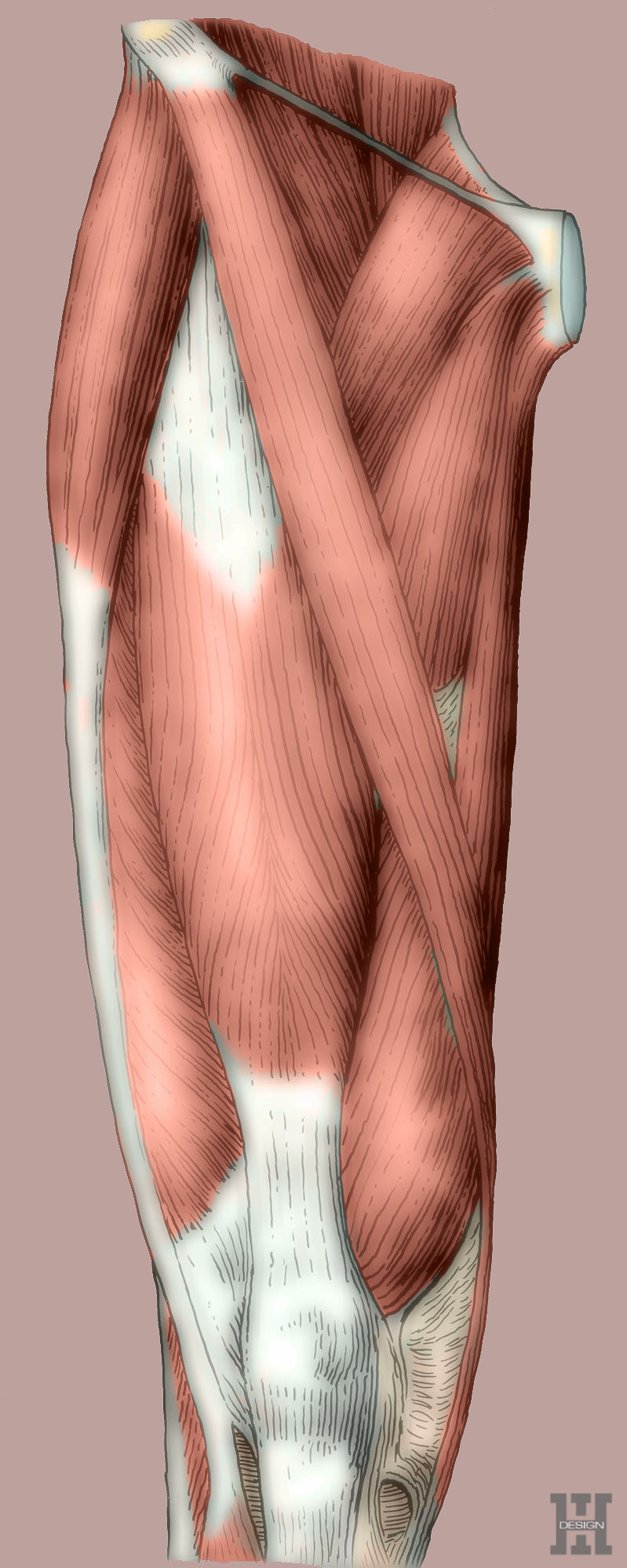 Muscles of thigh, anterior view